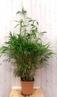 Warentuin Bamboe rietachtig 150 cm