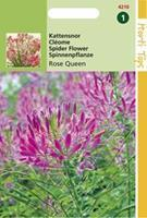 Hortitops Cleome Spinosa Rose Queen