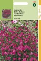 Hortitops Dianthus Deltoides Erectus Karmijnrose