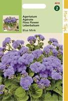 Hortitops Ageratum Houstonianum Mexicanum Blue Mink