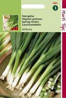 Hortitops Stengel Ui Ishikura Allium Fistulosum