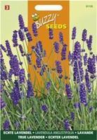 Buzzy Lavendel Lavandula officinalis