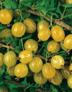 Ribes Uva Crispa kruisbes