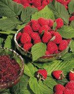 Rubus Tayberry Frambraam