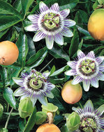 Passiflora Edulis Frederick (Wit-Paars)