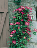 Clematis rood