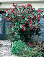 Camellia rood