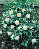 Camellia wit
