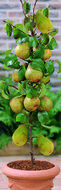 Pyrus perenboom