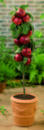 Malus Breaburn appelboom