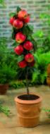 Malus Gala appelboom