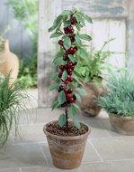 Prunus avium Sylvia