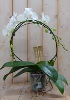 Warentuin Vlinderorchidee wit op boog