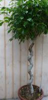 Warentuin Ficus Spiraal 120 cm
