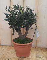 Olijfboom Olea Europaea 40 cm Warentuin Natuurlijk