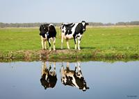 Pb-collection Tuinschilderij Cows with reflection 70x130cm