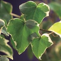 "Vanderstarre Bonte kleinbladige klimop (Hedera helix ""Glacier"") klimplant"
