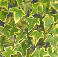 """Vanderstarre Geelbonte klimop (Hedera helix """"Goldchild"""") klimplant"""