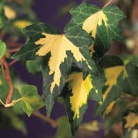 "Vanderstarre Bonte klimop (Hedera helix ""Goldheart"") klimplant"