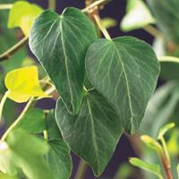 "Vanderstarre Klimop (Hedera Helix ""Natasja"") klimplant"