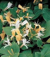 "Vanderstarre Japanse kamperfoelie (Lonicera Japonica ""Hall's Prolific"") klimplant"