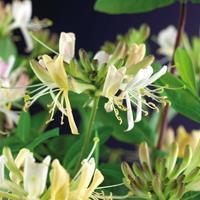 """Vanderstarre Wilde kamperfoelie roze (Lonicera periclymenum """"Belgica Select"""") klimplant"""