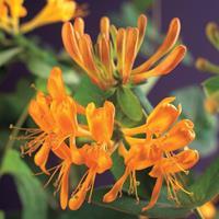 Vanderstarre Oranjegele kamperfoelie (Lonicera Tellmanniana) klimplant