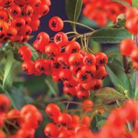 """Vanderstarre Vuurdoorn (Pyracantha coccinea """"Red Column"""") klimplant"""
