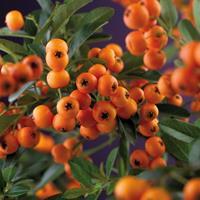 """Vanderstarre Vuurdoorn (Pyracantha """"Golden Charmer"""") klimplant"""