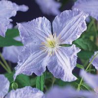 "Vanderstarre Lila bosrank (Clematis ""Blue Angel"") klimplant"