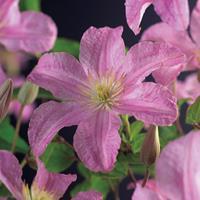 """Vanderstarre Roze bosrank (Clematis """"Comtesse de Bouchaud"""") klimplant"""