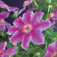 """Vanderstarre Roze bosrank (Clematis """"Dr. Ruppel"""") klimplant"""