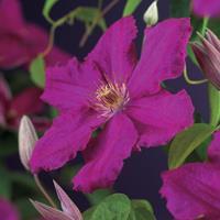 "Vanderstarre Rode bosrank (Clematis ""Ernest Markham"") klimplant"