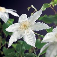 """Vanderstarre Witte bosrank (Clematis """"Gladys Picard"""") klimplant"""