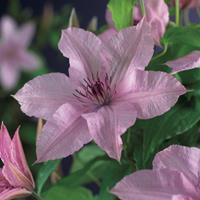 "Vanderstarre Roze bosrank (Clematis ""Hagley Hybrid"") klimplant"