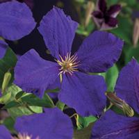 "Vanderstarre Paarse bosrank (Clematis ""Jackmanii"") klimplant - 70 cm - 1 stuks"