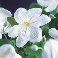"Vanderstarre Witte bosrank (Clematis ""Madame le Coultre"") klimplant - 70 cm - 1 stuks"