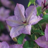 """Vanderstarre Lila bosrank (Clematis """"Margaret Hunt"""") klimplant"""