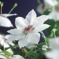 "Vanderstarre Witte bosrank (Clematis ""Miss Bateman"") klimplant"