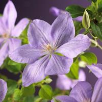 """Vanderstarre Lila bosrank (Clematis """"Mrs. Cholmondeley"""") klimplant"""