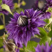 """Vanderstarre Blauwe bosrank (Clematis """"Multi Blue"""") klimplant - 70 cm - 1 stuks"""