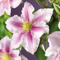 """Roze bosrank (Clematis """"Piilu"""") klimplant"""