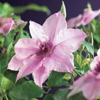 """Vanderstarre Roze bosrank (Clematis """"Pink Fantasy"""") klimplant"""