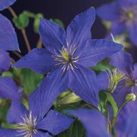 "Vanderstarre Blauwe bosrank (Clematis ""Rhapsody"") klimplant"