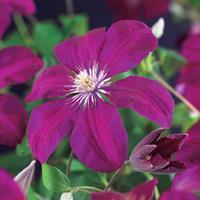 """Vanderstarre Rode bosrank (Clematis """"Rouge Cardinal"""") klimplant - 70 cm - 1 stuks"""