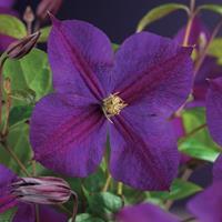"Paarse bosrank (Clematis ""Star of India"") klimplant"