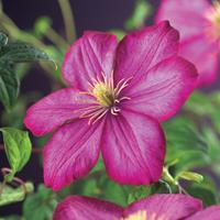 """Vanderstarre Roze bosrank (Clematis """"Ville de Lyon"""") klimplant"""