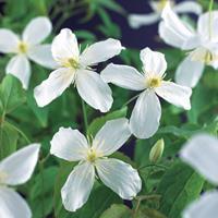 """Vanderstarre Witte bosrank (Clematis montana """"Grandiflora"""") klimplant"""