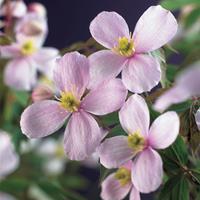"""Vanderstarre Roze bosrank (Clematis montana """"Rubens"""") klimplant - 70 cm - 1 stuks"""