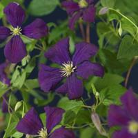 "Vanderstarre Paarse bosrank (Clematis viticella ""Etoile Violette"") klimplant"